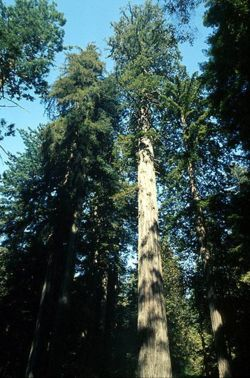 Hyperion, World's Tallest Tree